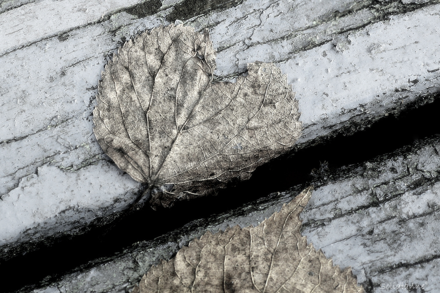 Blomsterphoto - Leaf- Soli 2013