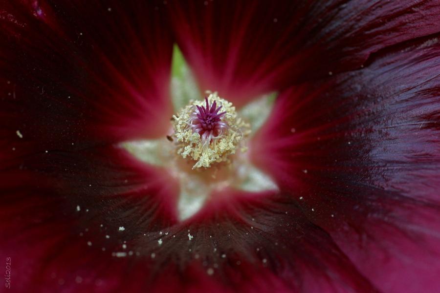 Blomsterphoto macro Alcea rosea Soli 2013