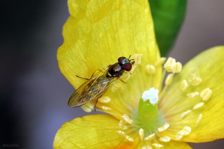 Blomsterphoto Syrphidae Soli 2013