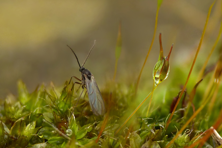Blomsterphoto Moss & Sciaridae Soli 201502